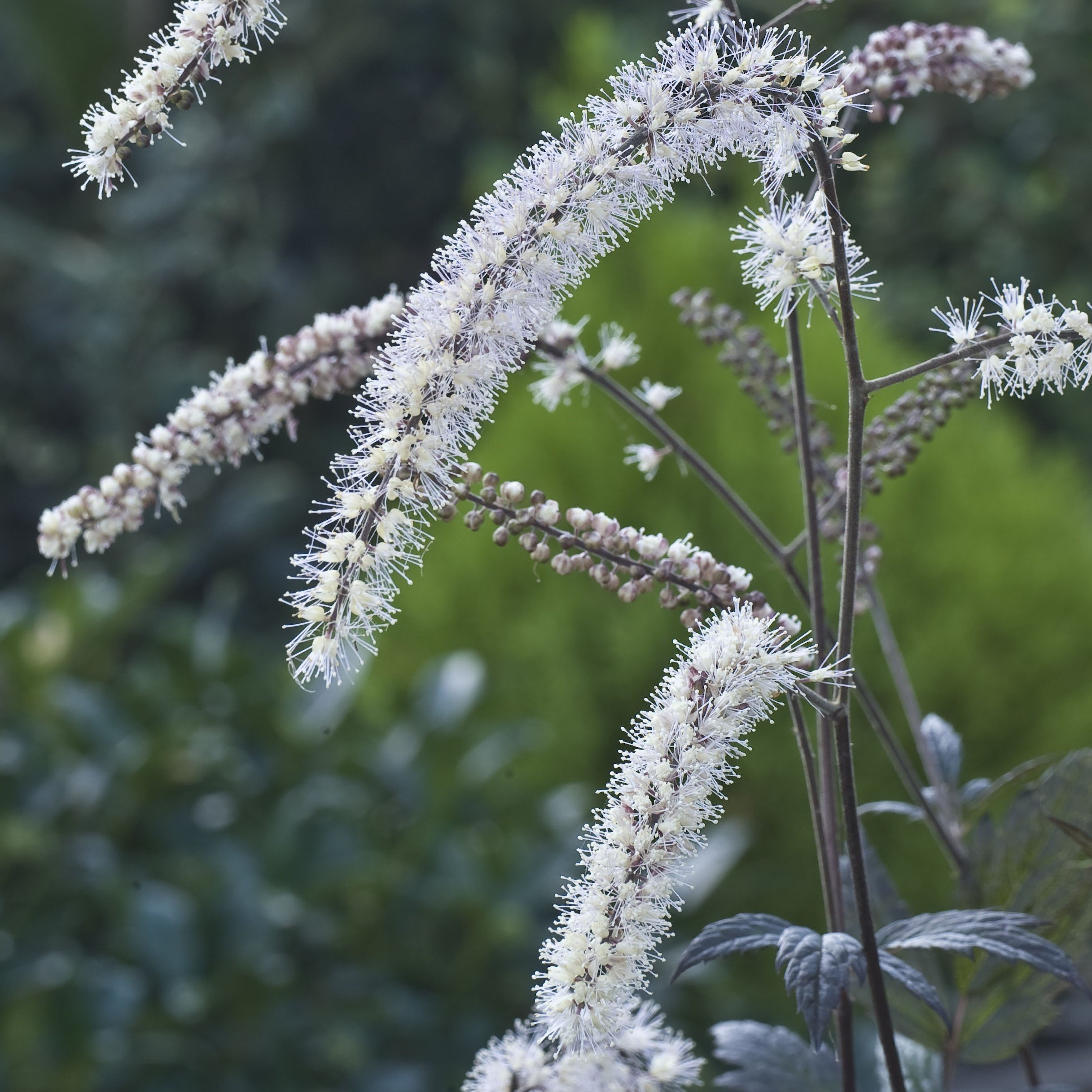 Actaea X 'Queen Of Sheba'